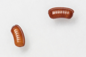 Cockroach+egg+cases