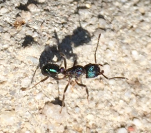 Green+headed+ant+control