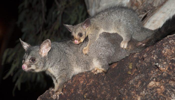 Brushtail/Ringtail Possum
