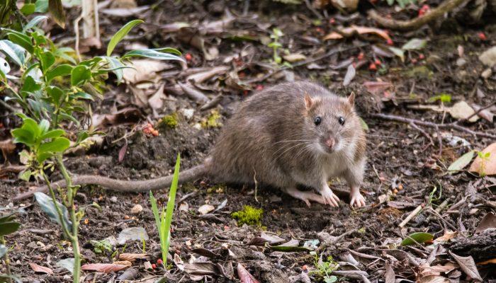 Norway/Brown Rat